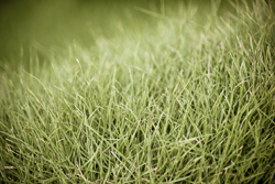 Close Up Picture Of Bermuda Grass Marietta