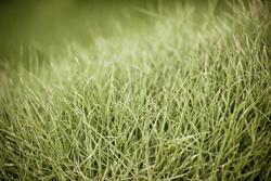 Close Up Picture Of Bermuda Grass Marietta
