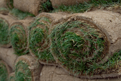 Image Of Green Fescue Sod Marietta
