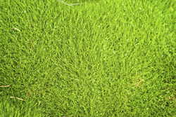 Close Up Image Of Beautiful Grass Marietta